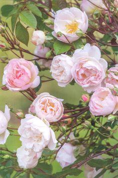 'The Lady of the Lake' |  Shrub.  English Rose Collection. Production 2014 United Kingdom David Austin