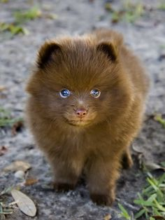 Chocolate Pomeranian...soooo adorbs! If I ever have a small dog, this will be the one!