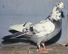 Sverdlovsk blue-gray mottle-headed pigeon - Wikipedia, the free encyclopedia
