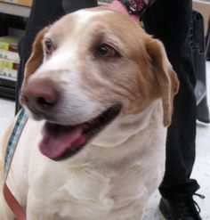 PLEASE RESCUE THESE SWEET DOGS & CATS IN WASHINGTON, PA....Pictured DUDE (poor guy was surrendered due to a small child being afraid of his barking.) http://www.petsearchpa.org/adoptablepets.html