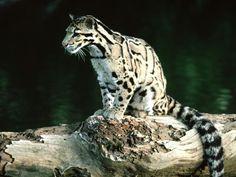 Grands félins - Fonds d'écran et Wallpapers gratuits: http://wallpapic.fr/animaux/grands-felins/wallpaper-32152