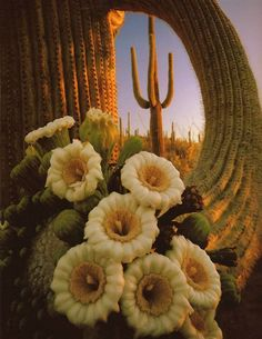 Saguaro cactus blooms in the Sonoran Desert....We had these near our AZ house...and blossoms are sweet and sticky, drawing lots of bees.  The cacti also had holes in them with nests of wrens!!!