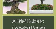 This Month in the Garden: A Brief Guide to Growing and Caring for Bonsai Trees Outdoor Bonsai Tree, Indoor Bonsai, Bonsai Tree Types, Bonsai Trees, Garden Styles, Garden Projects, Beautiful Flowers, Monat, Plants