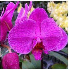 100 Pcs / Pack Phalaenopsis Saplings Bonsai Orchid Seeds Fleur-de-lis Blue Flower