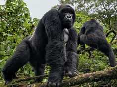 A silverback gorilla emerges from the forest in Virunga National Park in this National Geographic Photo of the Day.