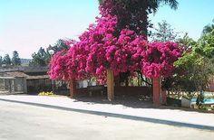 Dama Plantas - Árvores para reflorestamento padrão Depave - Na Primavera, Nossa Planta do Mês é a Primavera