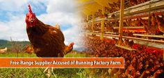 Free-Range Supplier Accused of Running Factory Farm Animal Rights Groups, Factory Farming, Free Range, Poultry, Running, Backyard Chickens, Keep Running, Why I Run