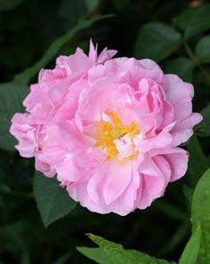 'Celsiana' Rose | Damask Rose. Unknown Dutch origin (Netherlands, before 1732). | Flickr - © Palustris