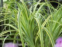 Carex trifida 'Rekohu Sunrise' PBR