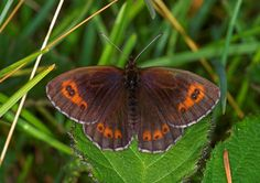 Butterfly Conservation is a British charity devoted to saving butterflies, moths and their habitats throughout the UK. Butterfly Species, Flying Flowers, Natural World, Conservation, Habitats, Scotch, Charity, Insects, Wildlife