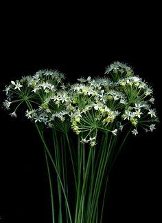 56202.01 Allium tuberosum