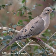 The mourning dove is commonly seen and heard around our house. Nature Animals, Woodland Animals, Beautiful Birds, Animals Beautiful, Names Of Birds, Dove Images, Dove Hunting, Dove Pigeon, Bird Identification