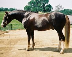 Alardoso, a Wilbur-Cruce stallion