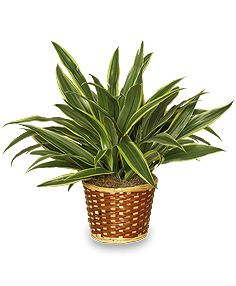 The Red Edged Dracaena Plant One Of The Best Air Cleaning