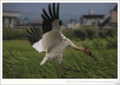 Rare Siberian Crane given special protection in Taiwan after getting lost