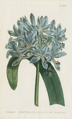 African Agapanthus Or Blue Lily from William Curtis Flowers, Hydrangea, Hibiscus, Hyacinth, Red Lily, Chrysanthemum, Tulip