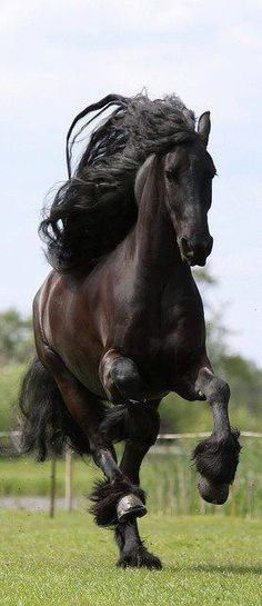 Friesian black horse stallion dressage baroque-how magnificent! Most Beautiful Animals, Beautiful Horses, Beautiful Creatures, Black Horses, Wild Horses, Free Horses, Friesian Horse, Horse Galloping, Andalusian Horse