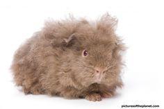 cute guinea pigs | Scruffy but cute baby guinea pig set to a white background.