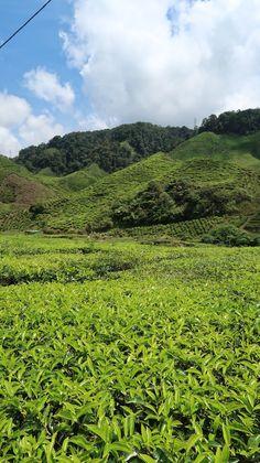 Campos de chá da Malásia, Cameron Highlands | Viaje Comigo Cameron Highlands, Kuala Lumpur, Mountains, Green, Nature, Travel, Fields, Traveling, Naturaleza