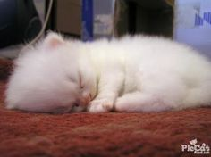 oh my gosh... i must have this little kitten.. its like a little cloud!!!!!