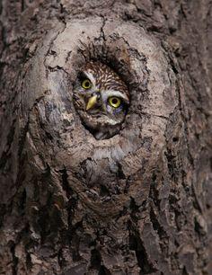 ~~Peek-a-boo ~ little owl keeping watch by Billy Currie~~