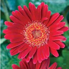 These gerbera, aptly named 'Forever Daisies', give weeks of colour. Plants For Small Gardens, Bellis Perennis, Gerbera, Daisies, Gardening, Dreams, Colour, Happy, Flowers