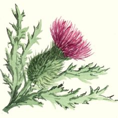 images of scottish thistles Botanical Illustration, Botanical Prints, Thistle Wallpaper, Scotland National Flower, Scottish Thistle Tattoo, Flower Line Drawings, Thistle Flower, Celtic Art, Graphic