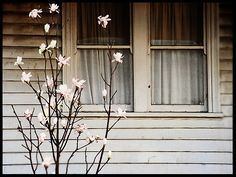 Magnolia in spring #cottage