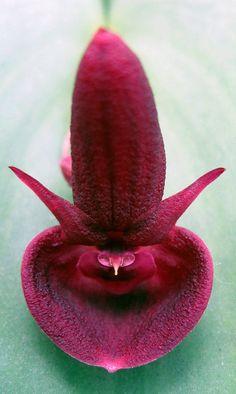 Orchid: Acronia species; by carlos velez, via Flickr