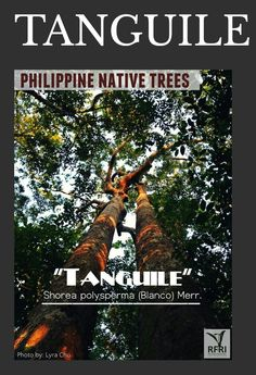 """TANGUILE (Shorea polysperma (Blanco) Merr.) Two adjacent Tanguile Trees (more than 20 years old) found in a tropical lowland evergreen Rain Forest in Silago, Southern Leyte! """"Protect our trees, our forests- our source of life!"""" Visit our website: www.rainforestation.ph Bike Work Stand, Forest Plants, Leyte, Wood Tree, Christmas Tree, Christmas Ornaments, Flowering Trees, Growing Plants, Forests"""