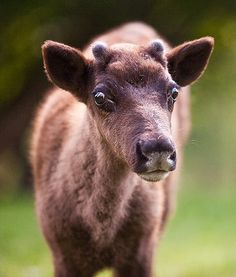 At the Rosamond Gifford Zoo in Syracuse, N.Y.,a cute baby reindeer stands in the sunshine and catches some rays. So cute!