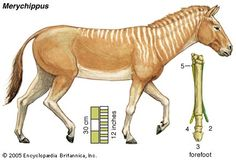 """Merychippus was endemic to North America during the Miocene from 20.43—10.3 Ma living for approximately 10.13 million years. It had three toes on each foot and is the first horse known to have grazed. Its name means """"ruminant horse"""", but current evidence does not support Merychippus ruminating. Three lineages within Equidae are believed to be descended from the numerous varieties of Merychippus: Hipparion, Protohippus and Pliohippus. Image: Evolución del caballo VI a: El Merychippus"""