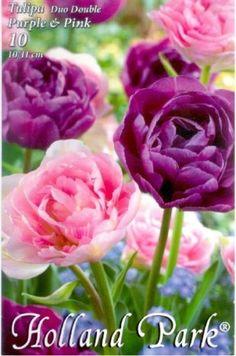 Tulipán Duo- Teltvirágú rózsaszín és lila tulipán Holland Park, Rose, Flowers, Nature, Plants, Pink, Naturaleza, Plant, Roses