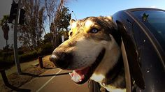Dogs in Cars: California by keith. Dogs in cars doing what they love to do...in California. http://www.huffingtonpost.com/2012/05/02/dogs-in-cars-california-b_n_1469699.html?ncid=edlinkusaolp00000009