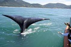 Baleias Francas  Praia do Rosa Brasil
