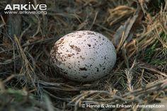 Golden eagle egg