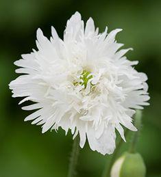 Our Fabulous New Plants Range Home Flowers, Cut Flowers, Colorful Flowers, Summer Flowers, Biennial Plants, Plant Delivery, Herbaceous Border, White Plants, Summer Plants