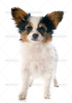Realistic Graphic DOWNLOAD (.ai, .psd) :: http://vector-graphic.de/pinterest-itmid-1006851049i.html ... papillon puppy ...  animal, canine, dog, isolated, long hair, papillon, papillon dog, pedigree, pet, puppy, purebred, studio, tricolor, upright, white background, young  ... Realistic Photo Graphic Print Obejct Business Web Elements Illustration Design Templates ... DOWNLOAD :: http://vector-graphic.de/pinterest-itmid-1006851049i.html