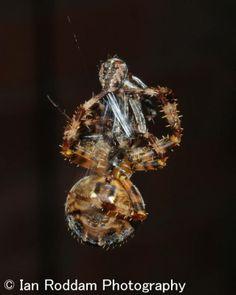 Female starts to wrap male in silk/ Garden Spider, Silk, Female, Silk Sarees