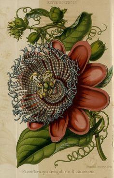 SNHF | Passiflora quadrangularis Decaisneana from 1855