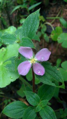 Flower, Tenorio Volcano National Park