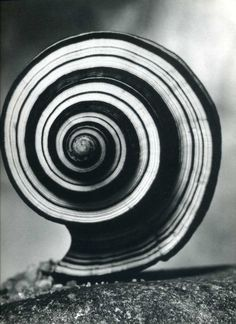 Spiral shell by Andreas Feininger: Sea Shells, Whorl, Andrea Feining, Black And Spirals In Nature, Fibonacci Spiral, Mandala, Patterns In Nature, Natural Forms, Color Of Life, Sea Creatures, Sacred Geometry, Black And White Photography