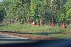 Outback Australia, mato de eucaliptos e cupins