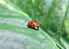 Cute Little Ladybug Lady Bug Insect on Leaf Original Fine Art Photography Wall Art Photo Print. A cute little ladybug walking on a leaf will have ladybug lovers wanting this!. Beautiful, unique and all original, prints by Joan Wilcox- Glanville. Each print comes in a clear resealable archive bag ready for framing. All are original prints and are handmade and printed by the artist on the highest quality professional luster finish 11.5 mil, 75 lb. thick photo paper designed to last for a...