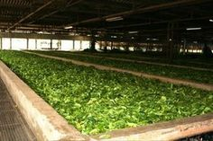 In the Hsipaw region, the main tea producing area, villagers take the plucked tea leaves home and process them in front of their houses.
