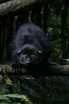 The endangered binturong, also known as bearcat, is a viverrid found in South and Southeast Asia by greenchartreuse