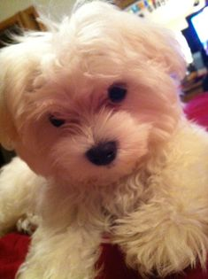 Maltese Puppy Love #maltese Puppy Love!