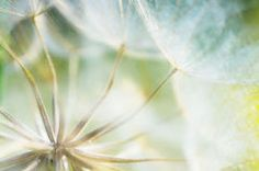 Abstract dandelion flower background, closeup with soft foc Royalty Free Stock Photography