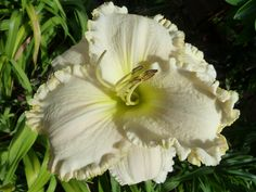 Daylily (Hemerocallis 'White Mountain') in the Daylilies Database (All Things Plants)