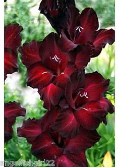 Gladiolus-BLACK-WALNUT-Spring-Planting-Bulbs-Flowering-Garden-Plants